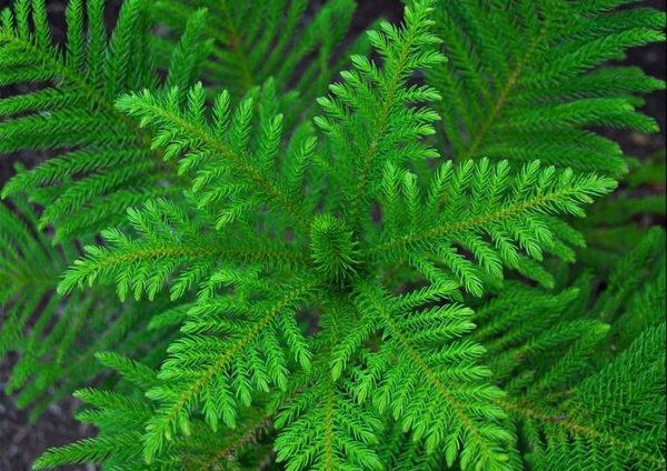 Хвоя ярко-зеленого цвета, мягкая и приятная на ощупь
