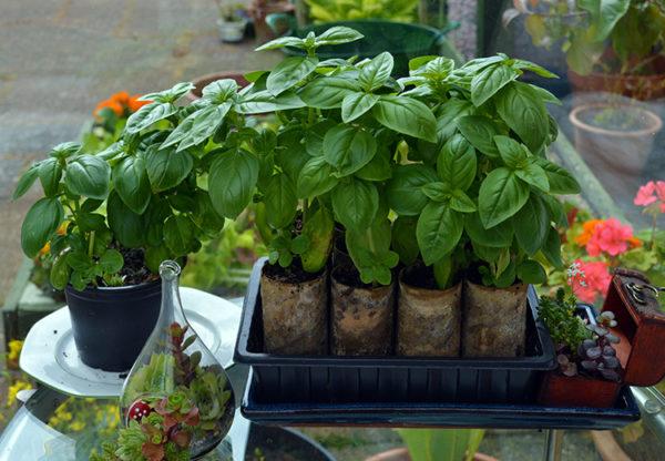 Растение, высаженное в торфяные кассеты.