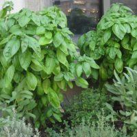 Пряное растение.