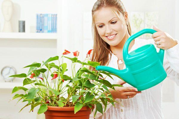 Поливать цветы нужно умеренно, не допуская застаивания воды и поддоне и высокой влажности воздуха