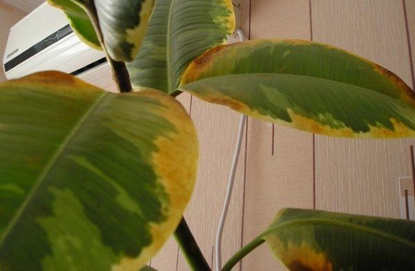 Болезнь быстро распространяется по всему растению, меры нужно принимать незамедлительно