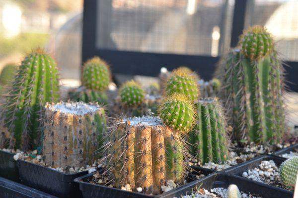 Метод черенкования кактуса