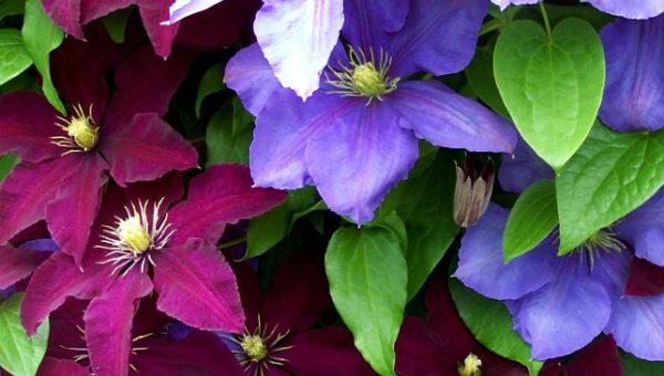Многообразие окраски цветов помогает выбрать лиану для вертикального озеленения в сад любого стиля.