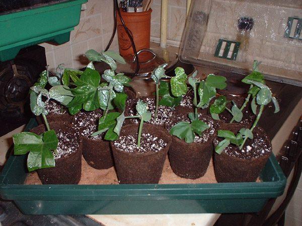 Молодые укоренившиеся растения.