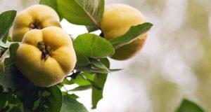 Айва похожа на грушу и яблоко.