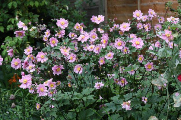Цветение анемонов на садовом участке