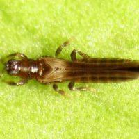 Взрослое насекомое на листочке.