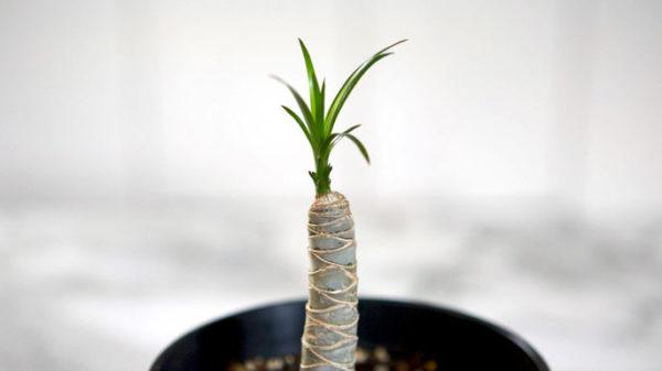 Новый рост пальмы.