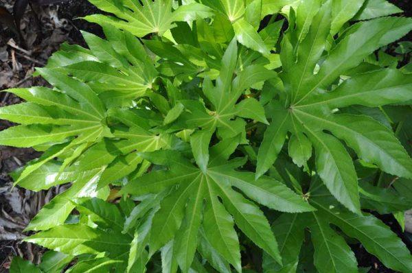 У фатсии крупные листья.