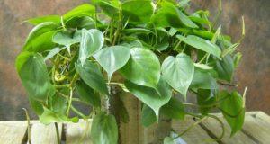 Ампельное растение в горшке.