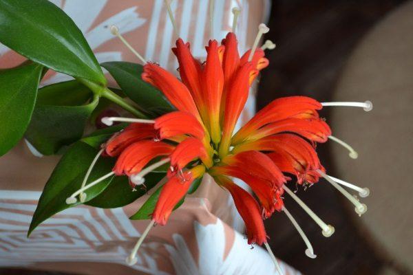 Цветы трубочками ярко алого цвета