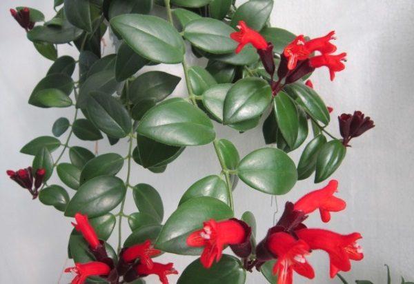 Цветение комнатного растения выглядит очень привлекательно