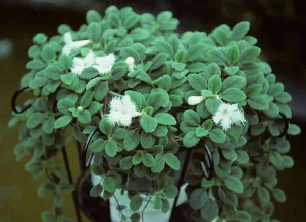 Ампельное растение с красивыми белыми цветами.
