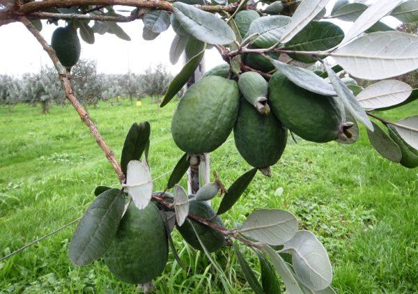 Плоды содержат массу витаминов и ценных элементов
