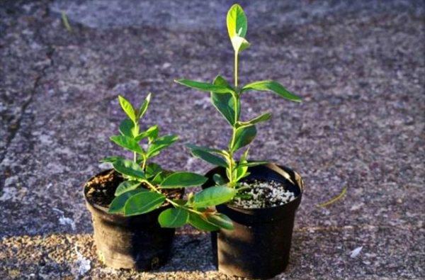 Рассадить отростки - самый простой способ размножения