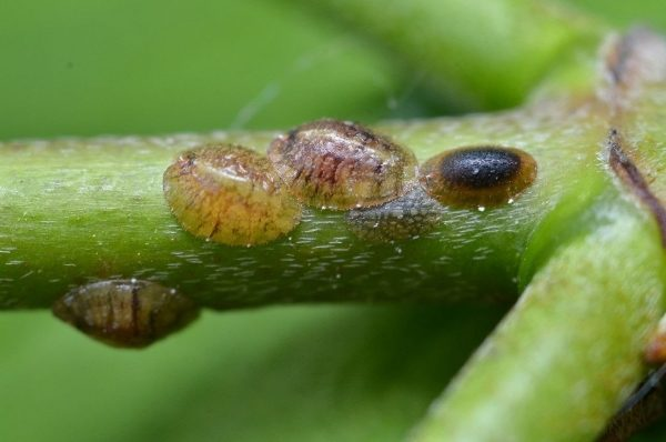 Растение могут атаковать ложнощитовки
