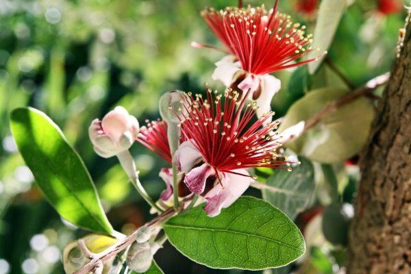 Растение цветет бело-розовыми изящными бутонами