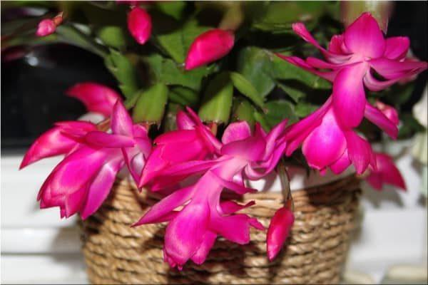 Выращивание зигокактуса в домашних условиях