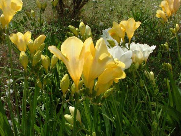 Ароматные желтые соцветия культуры.