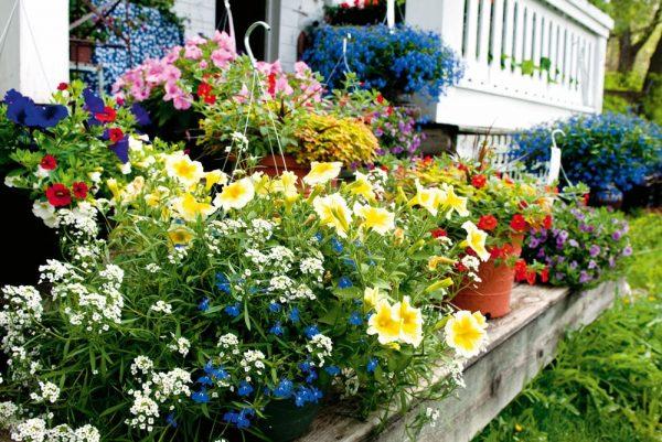 Растение является настоящим украшением сада