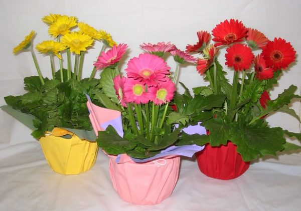 Цветущие комнатные растения.