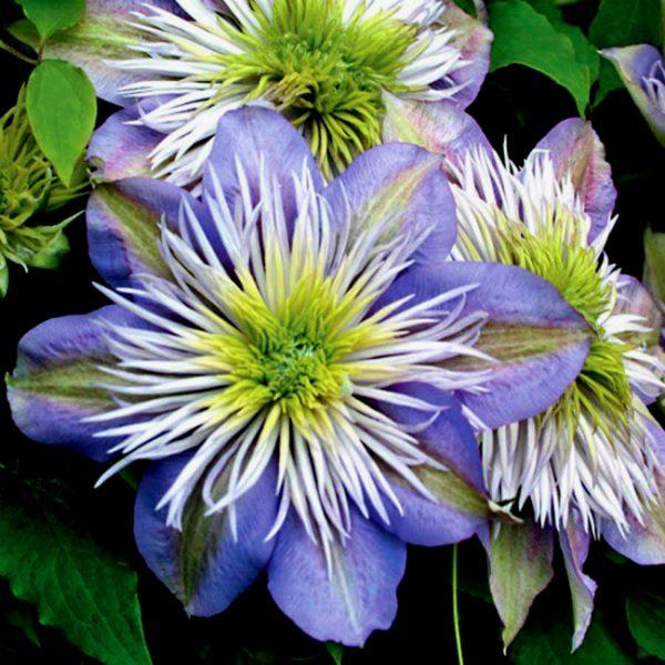 Высокой декоративностью отличаются махровые и полумахровые цветы ломоноса