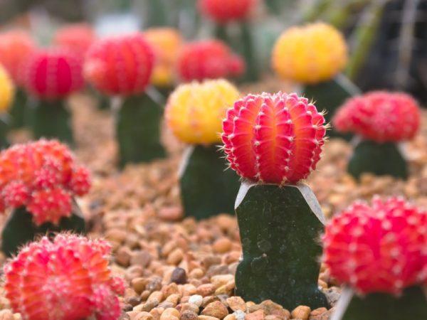 миниатюрные кактусы