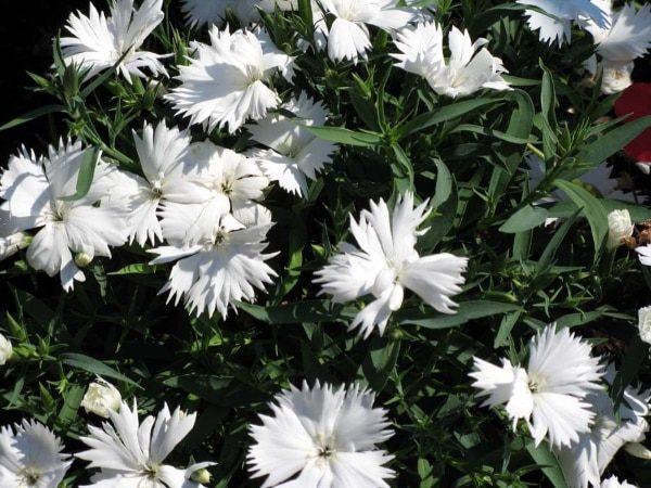 Неприхотливый многолетний сорт радует цветением все лето