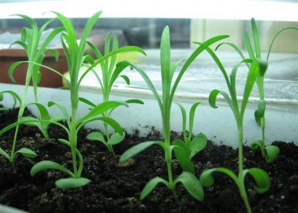 Комнатные растения, как и садовые, размножаются в основном семенами
