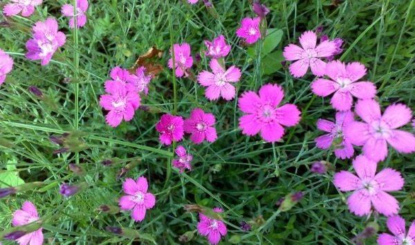 Все виды растения дикорастущие, встречаются однолетние, двухлетние и трехлетние сорта