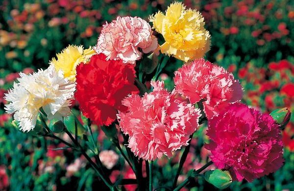 В зависимости от сорта цветы могут быть различного оттенка