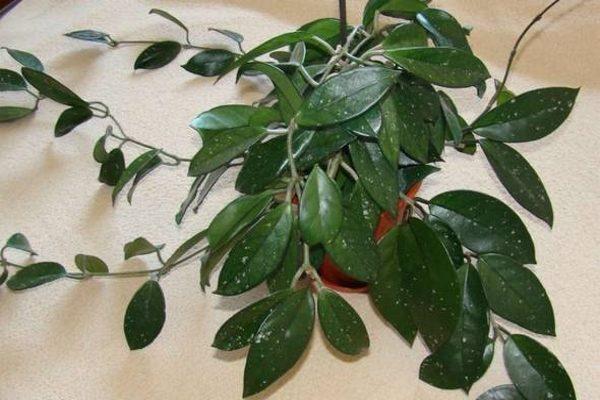 Для пересадки растения нужен узкий и маленький горшок - это способствует обильному цветению