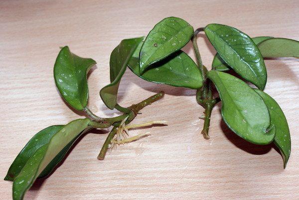 Самый простой способ размножения цветка - черенкование