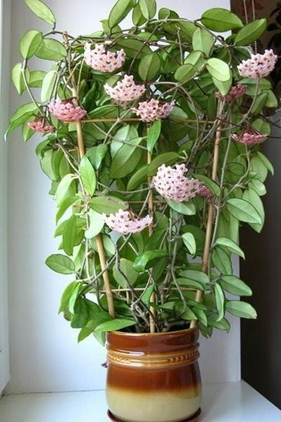 Для красивой формы и правильного роста используются специальные приспособления