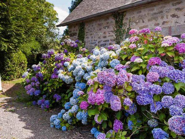 цветущие кусты гортензий