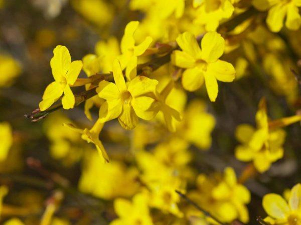 Голоцветковый жасмин - один из наиболее распространенных для домашнего выращивания.