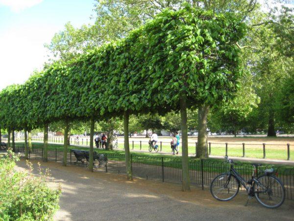 Дерево со сформированной кроной.