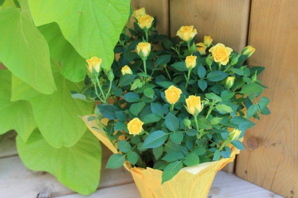 Розы можно выращивать в домашних условиях