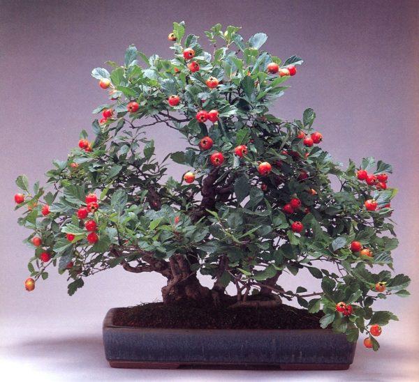 Миниатюрное деревце с плодами в плошке