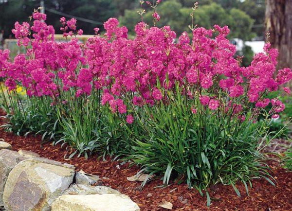 Цветущее растение в открытом грунте.