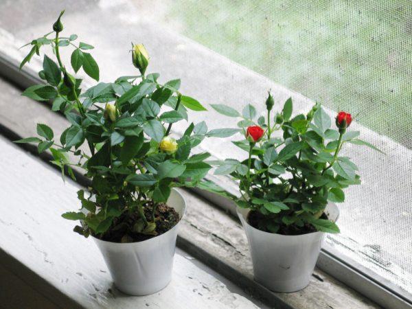Бутоны на розах появляются весной