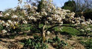 """На иллюстрации - дерево """"Лесная красавица"""" во время цветения"""