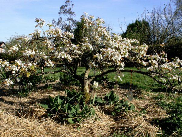 На иллюстрации - плодовое дерево во время цветения