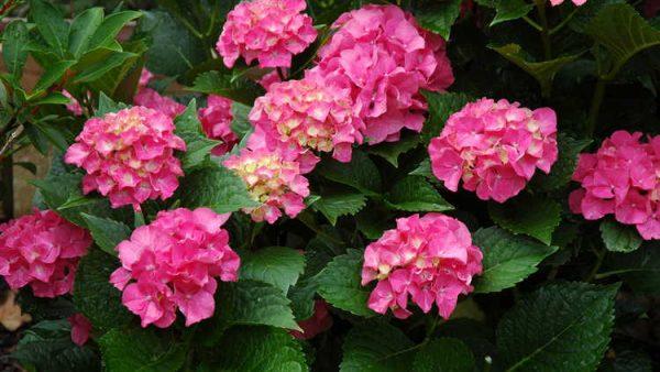 Один из самых красивых сортов цветов.