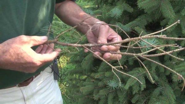 У ели удаляются сухие ветки.