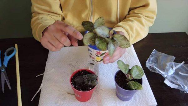 Пересадка растения в горшок большего размера.