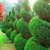 Хвойные растения удивительно преображаются после фигурной стрижки.