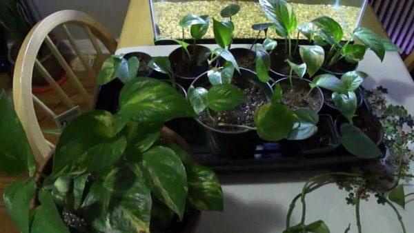 Молодые растения в горшках.