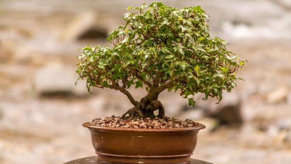 Карликовое дерево.