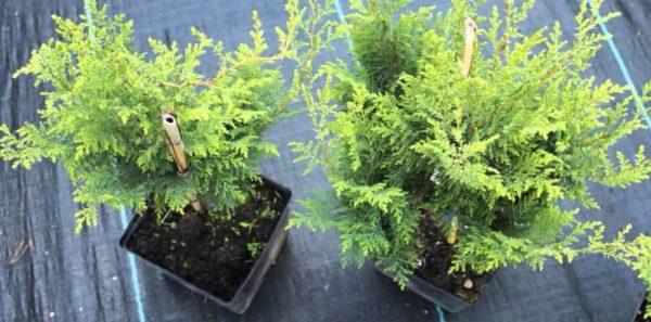 Горшечные кипарисы для домашнего выращивания.